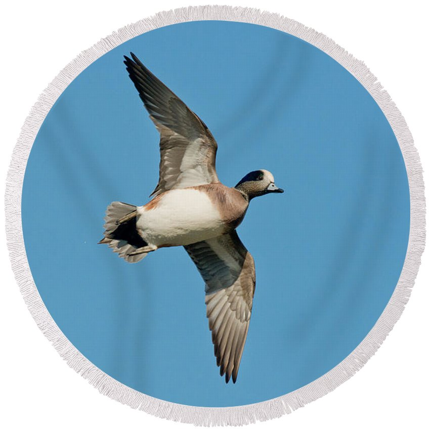 Fauna Round Beach Towel featuring the photograph American Wigeon Drake by Anthony Mercieca