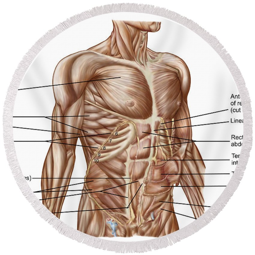 Anatomy Of Human Abdominal Muscles Round Beach Towel For Sale By