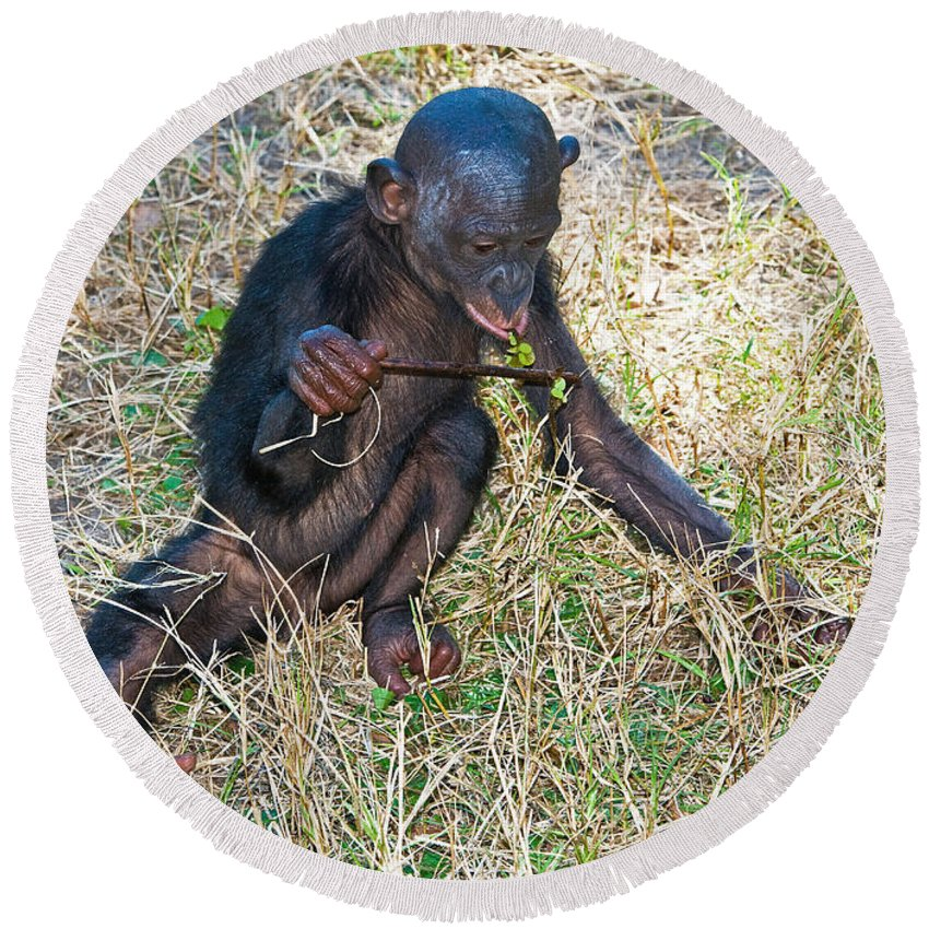 Bonobo Round Beach Towel featuring the photograph Baby Bonobo by Millard H. Sharp