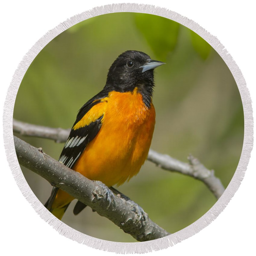 Baltimore Round Beach Towel featuring the photograph Baltimore Oriole by Mircea Costina Photography