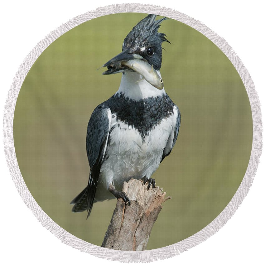 Belted Kingfisher Round Beach Towel featuring the photograph Belted Kingfisher With Fish by Anthony Mercieca