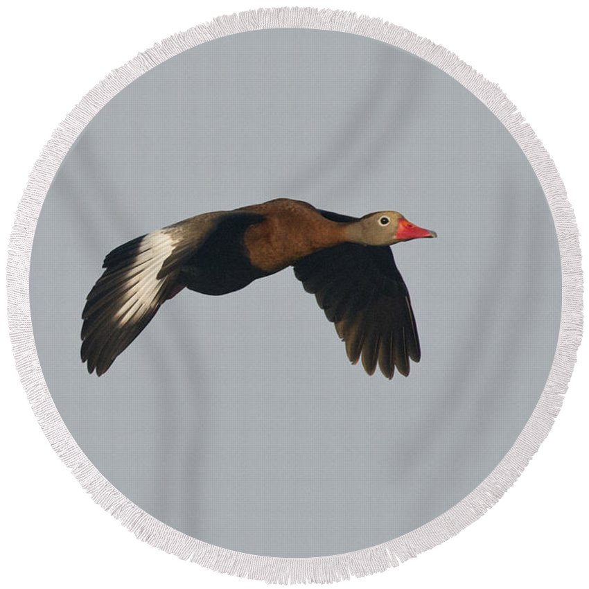 Black-bellied Whistling-duck Round Beach Towel featuring the photograph Black-bellied Whistling Duck by Anthony Mercieca