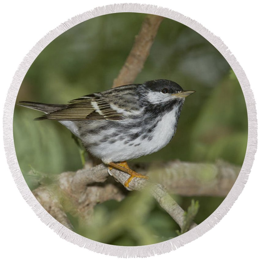 Blackpoll Warbler Round Beach Towel featuring the photograph Blackpoll Warbler by Anthony Mercieca