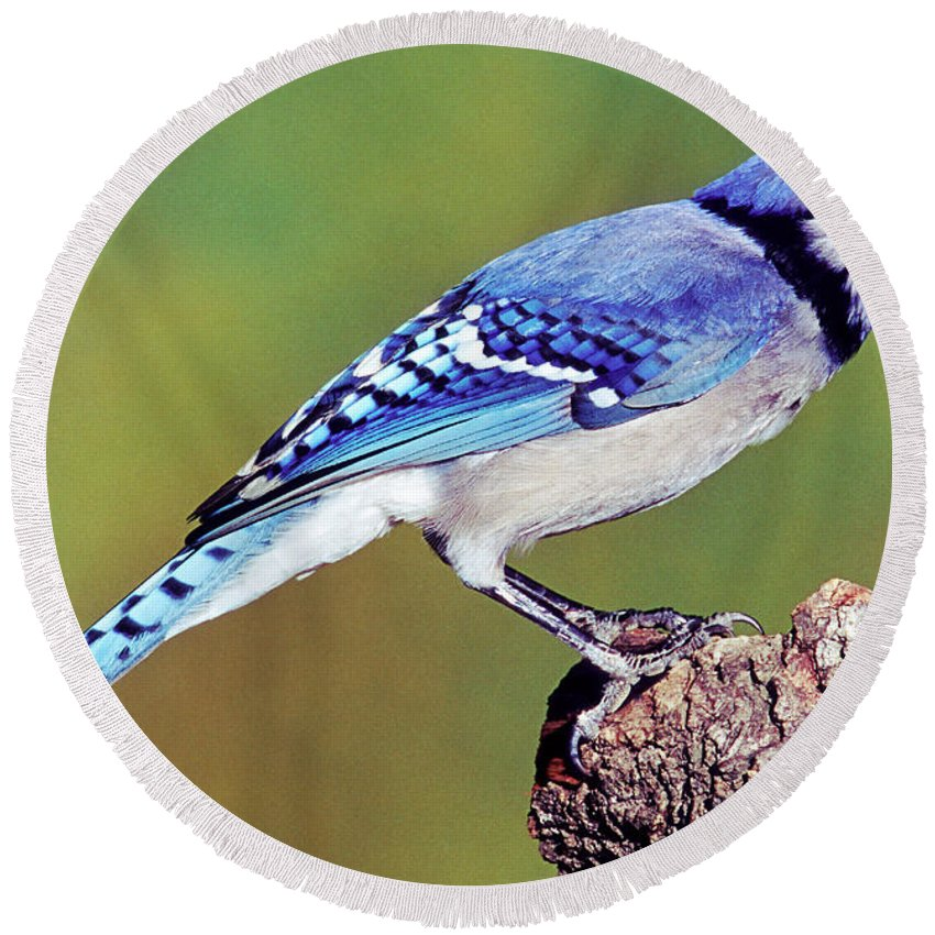 Blue Jay Round Beach Towel featuring the photograph Blue Jay by Millard H. Sharp