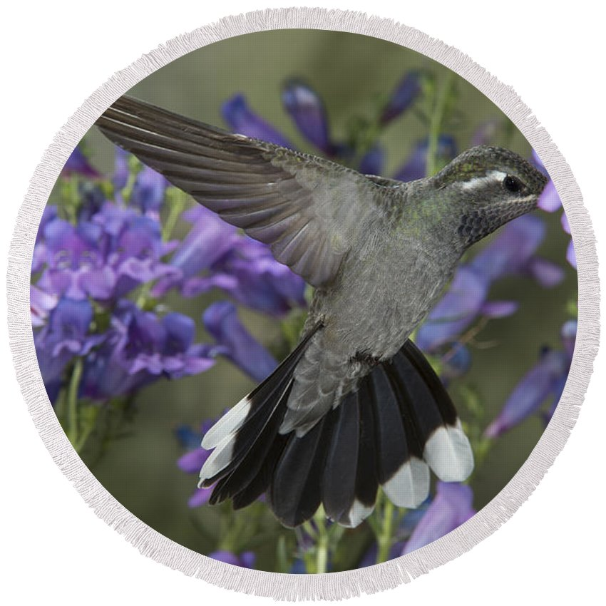 Blue-throated Hummingbird Round Beach Towel featuring the photograph Blue-throated Hummingbird by Anthony Mercieca