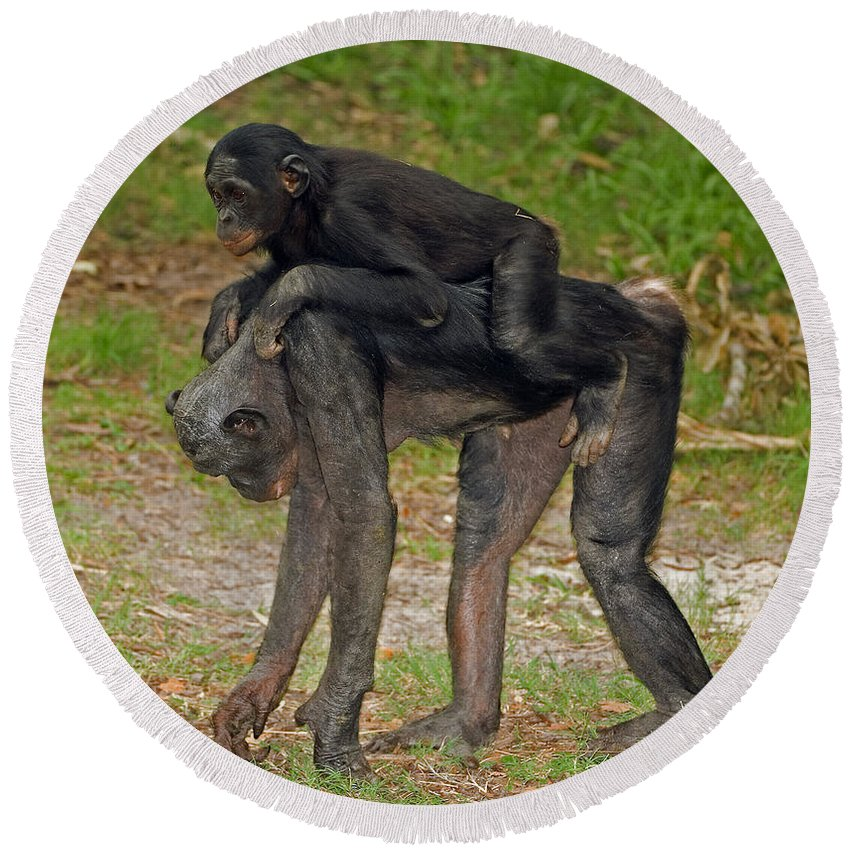 Bonobo Round Beach Towel featuring the photograph Bonobos by Millard H. Sharp