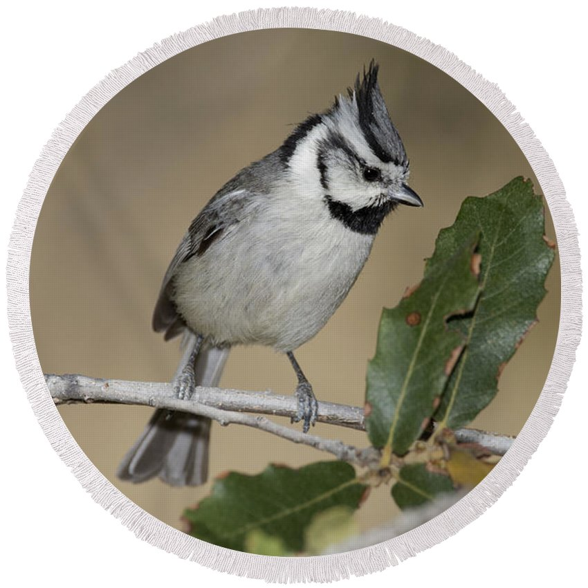 Bridled Titmouse Round Beach Towel featuring the photograph Bridled Titmouse by Anthony Mercieca