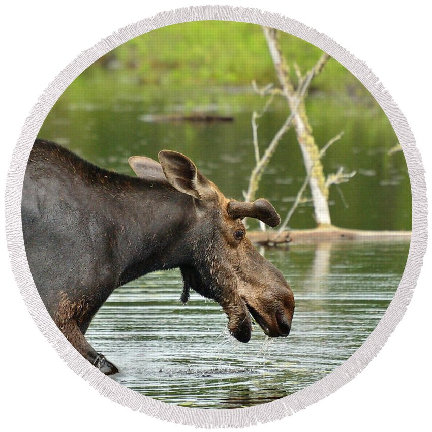 Alces Alces Round Beach Towel featuring the photograph Bull Moose by Joshua McCullough