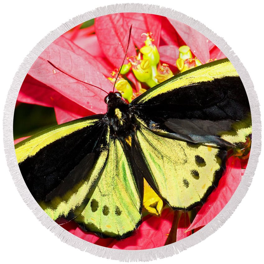 Tropical Butterfly Round Beach Towel featuring the photograph Cairns Birdwing Butterfly by Millard H. Sharp