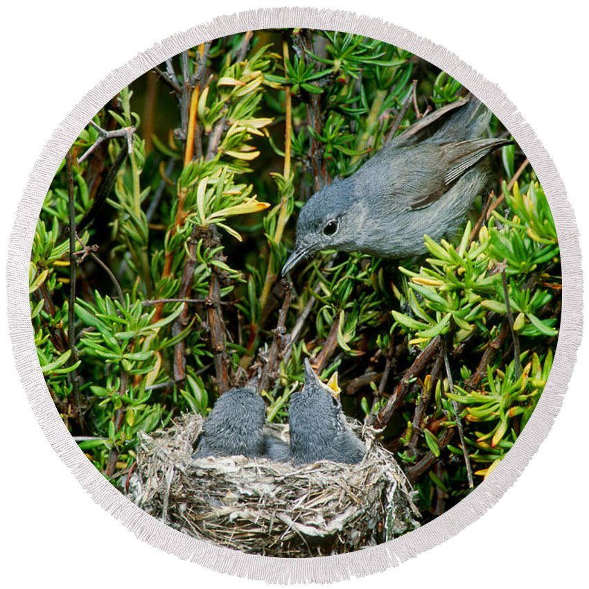 Female Round Beach Towel featuring the photograph California Gnatcatcher by Anthony Mercieca