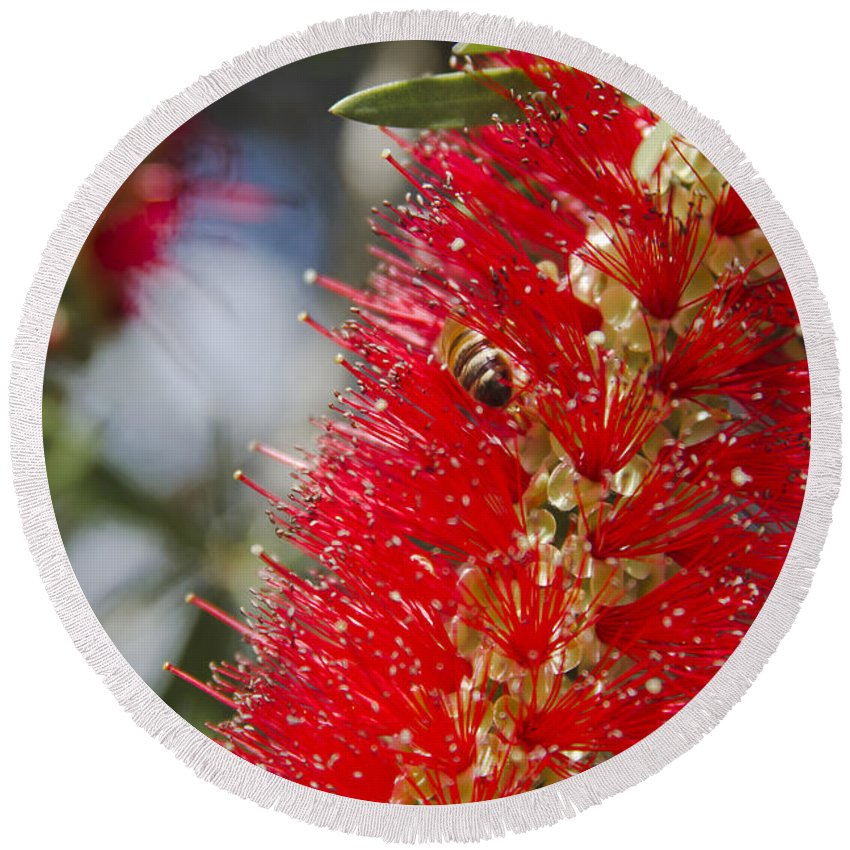 Round Beach Towel featuring the photograph Callistemon Citrinus - Crimson Bottlebrush by Sharon Mau