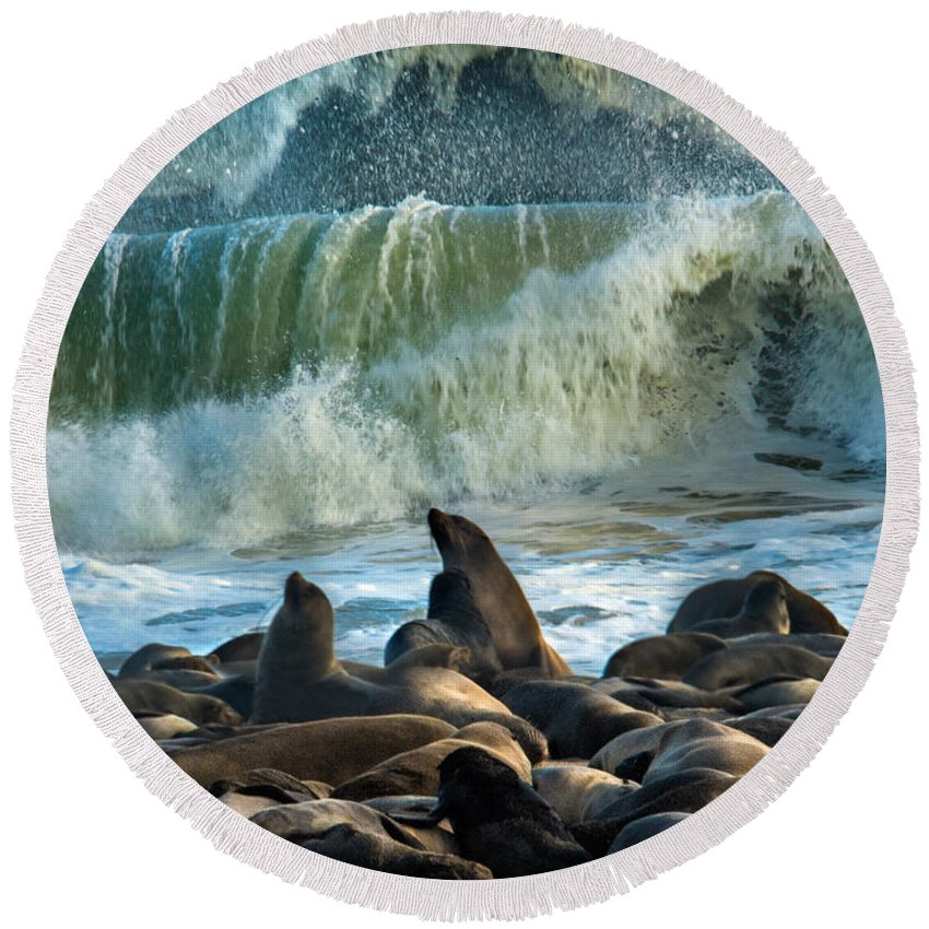 Photography Round Beach Towel featuring the photograph Cape Fur Seals Arctocephalus Pusillus by Panoramic Images