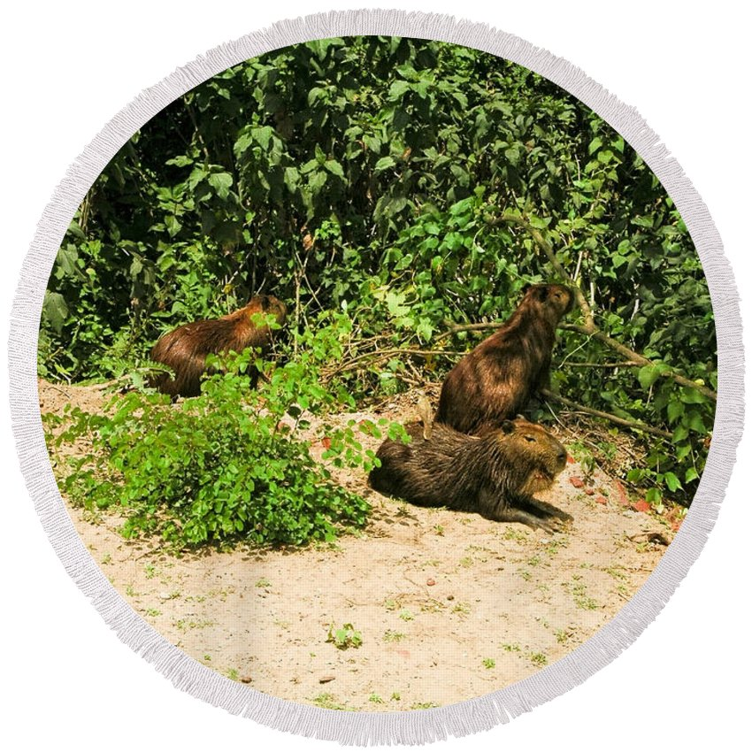 Animals Round Beach Towel featuring the digital art Capybara by Carol Ailles