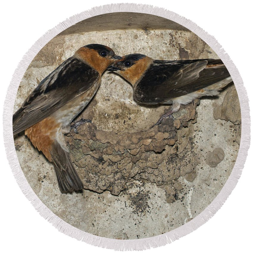 Cave Swallow Round Beach Towel featuring the photograph Cave Swallows by Anthony Mercieca