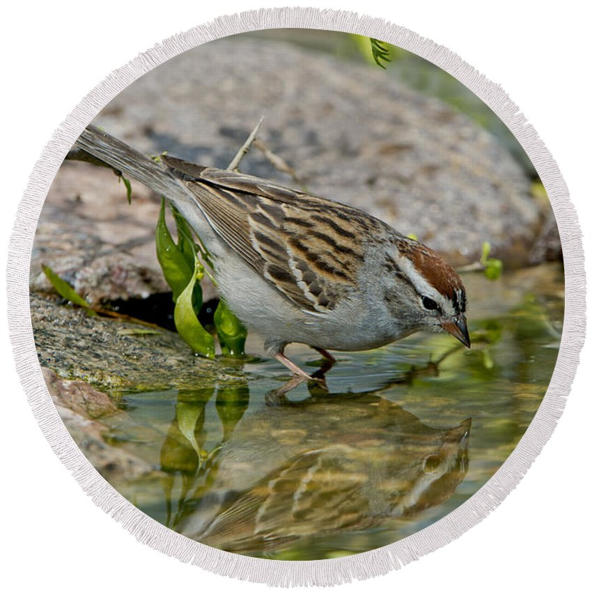 Chipping Sparrow Round Beach Towel featuring the photograph Chipping Sparrow by Anthony Mercieca