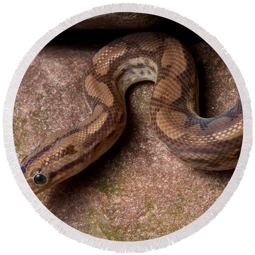 Animal Round Beach Towel featuring the photograph Colombian Rainbow Boa Epicrates Maurus by David Kenny