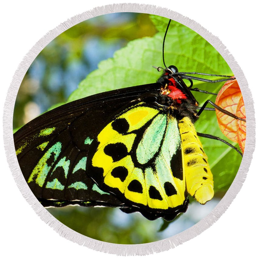 Nature Round Beach Towel featuring the photograph Common Birdwing Butterfly by Millard H. Sharp