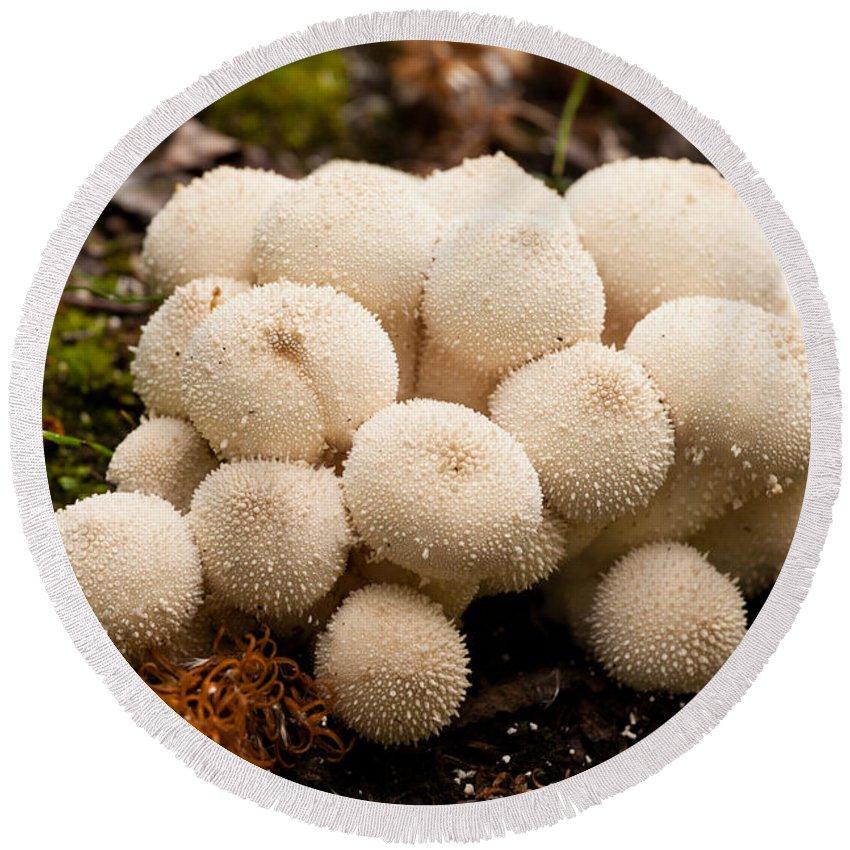 Autumn Round Beach Towel featuring the photograph Common Puffball Mushrooms Lycoperdon Perlatum by Stephan Pietzko