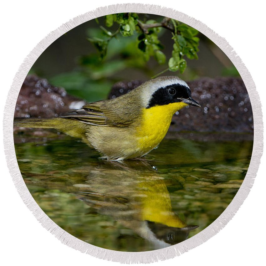 Common Yellowthroat Round Beach Towel featuring the photograph Common Yellowthroat by Anthony Mercieca