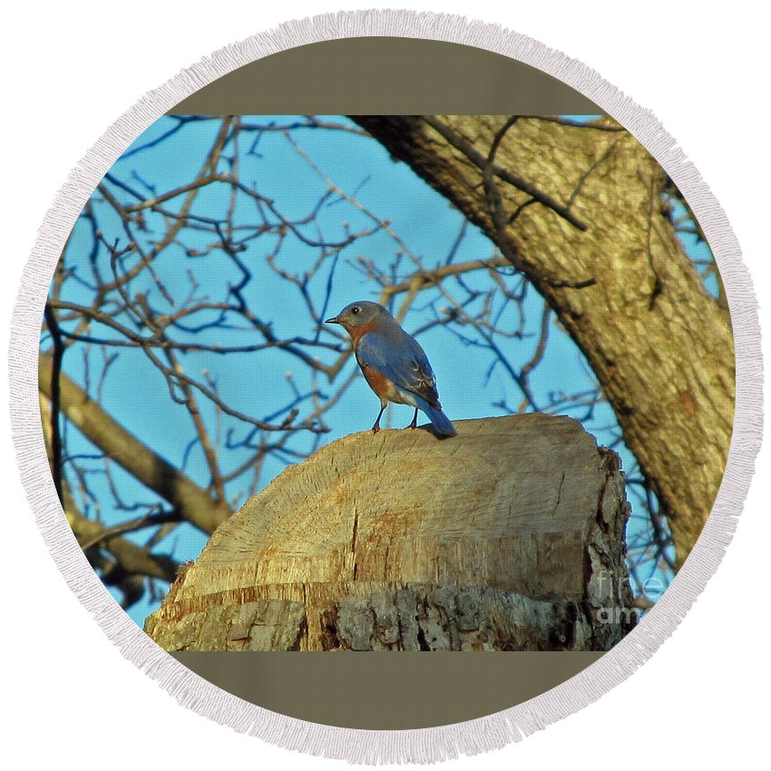 Bird Round Beach Towel featuring the photograph Eastern Bluebird 3 by Jamie Smith