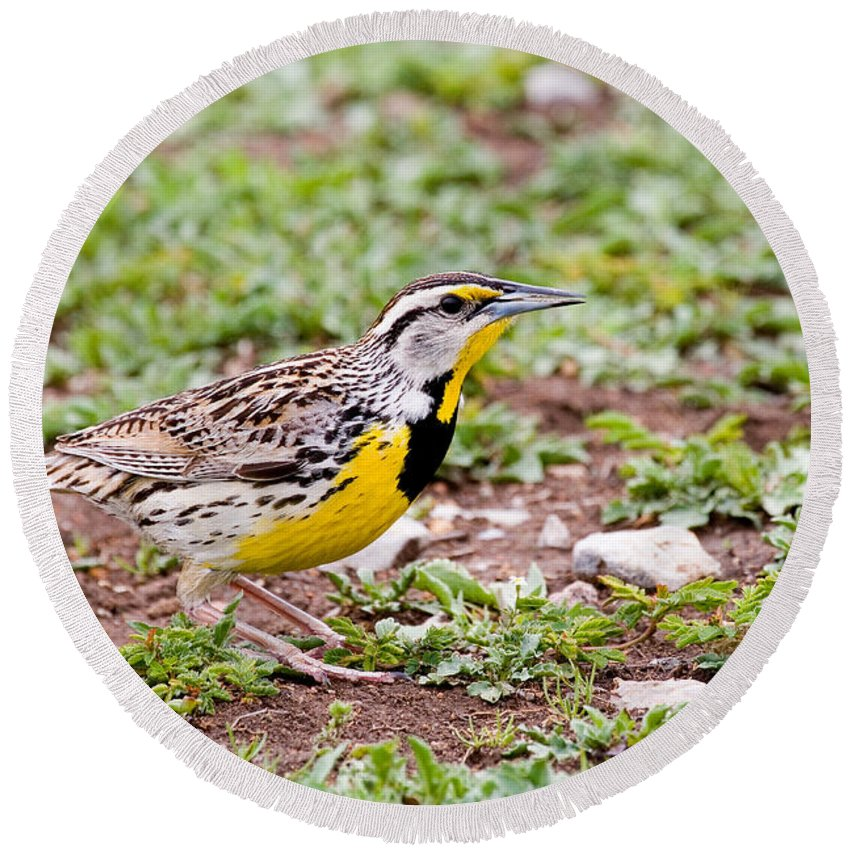 Animal Round Beach Towel featuring the photograph Eastern Meadowlark Sturnella Magna by Gregory G. Dimijian