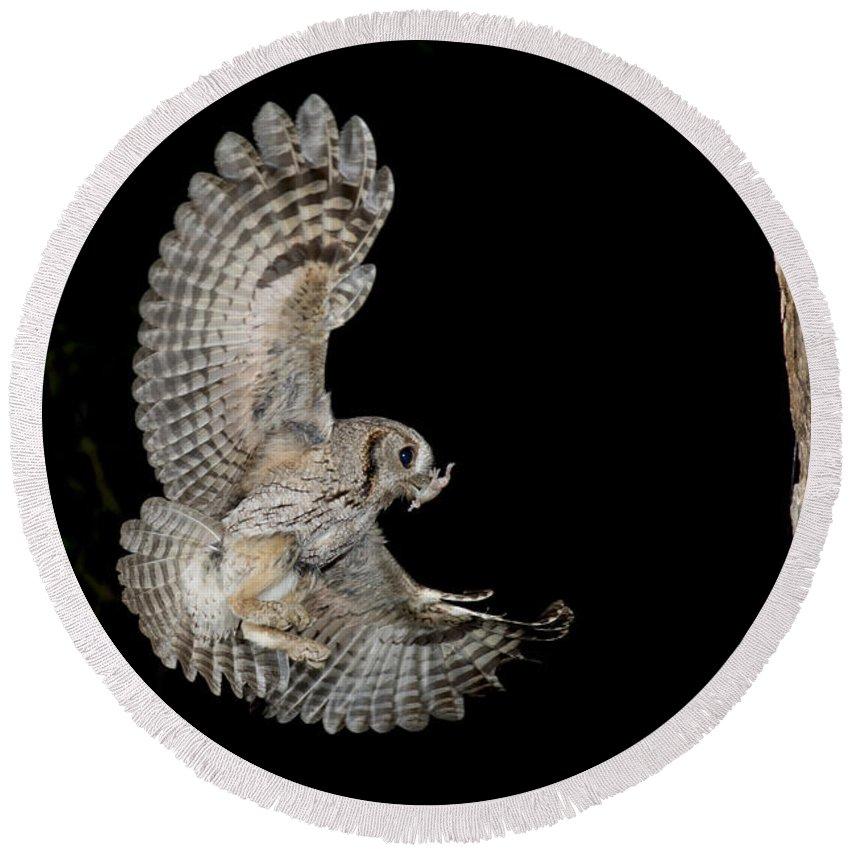 Eastern Screech Owl Round Beach Towel featuring the photograph Eastern Screech Owl by Anthony Mercieca