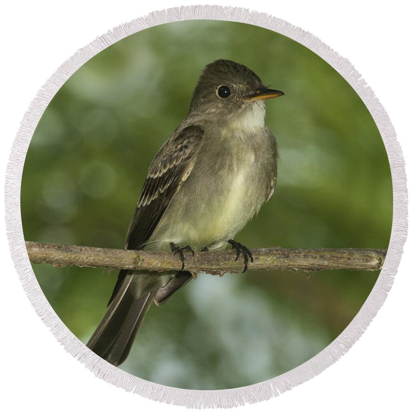 Eastern Wood-pewee Round Beach Towel featuring the photograph Eastern Wood Pewee by Anthony Mercieca