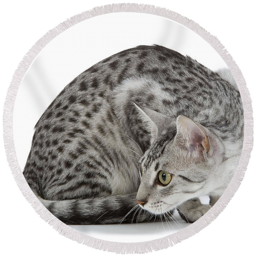 Cat Round Beach Towel featuring the photograph Egyptian Mau Cat by Jean-Michel Labat