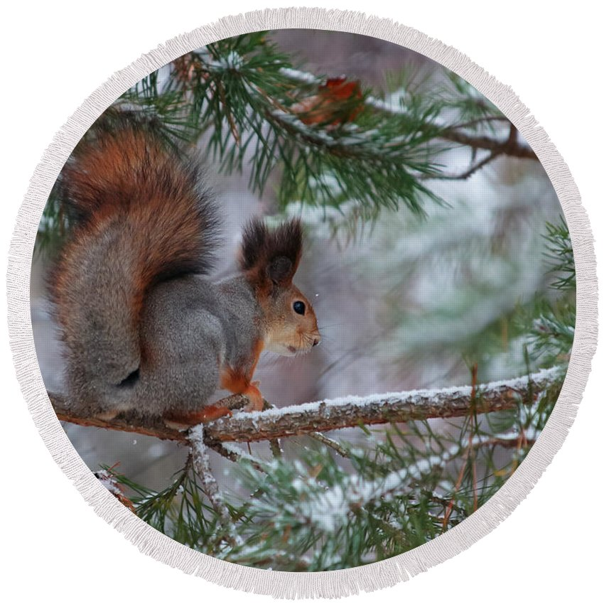 Eurasian Red Squirrel Round Beach Towel featuring the photograph Eurasian Red Squirrel by Jouko Lehto