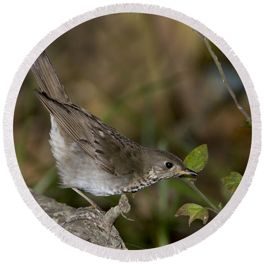Gray-cheeked Thrush Round Beach Towel featuring the photograph Gray-cheeked Thrush by Anthony Mercieca