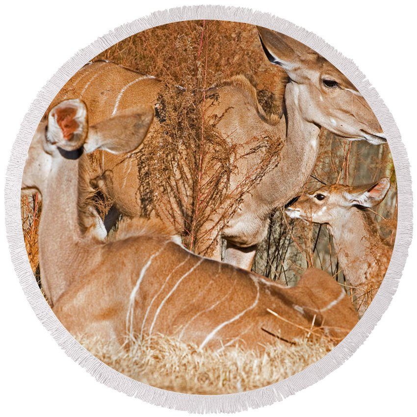 Nature Round Beach Towel featuring the photograph Greater Kudu Mother And Baby by Millard H. Sharp