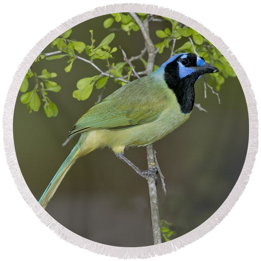 Green Jay Round Beach Towel featuring the photograph Green Jay by Anthony Mercieca