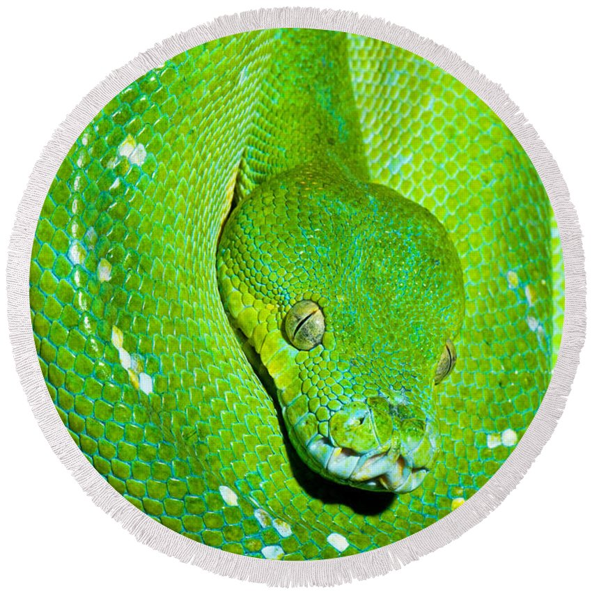 Green Tree Python Round Beach Towel featuring the photograph Green Tree Python by Millard H. Sharp