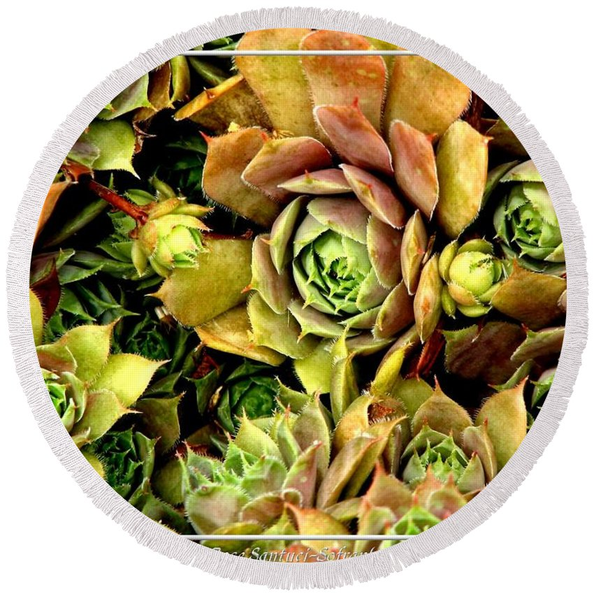 Hens And Chicks Round Beach Towel featuring the photograph Hens And Chick Plants by Rose Santuci-Sofranko