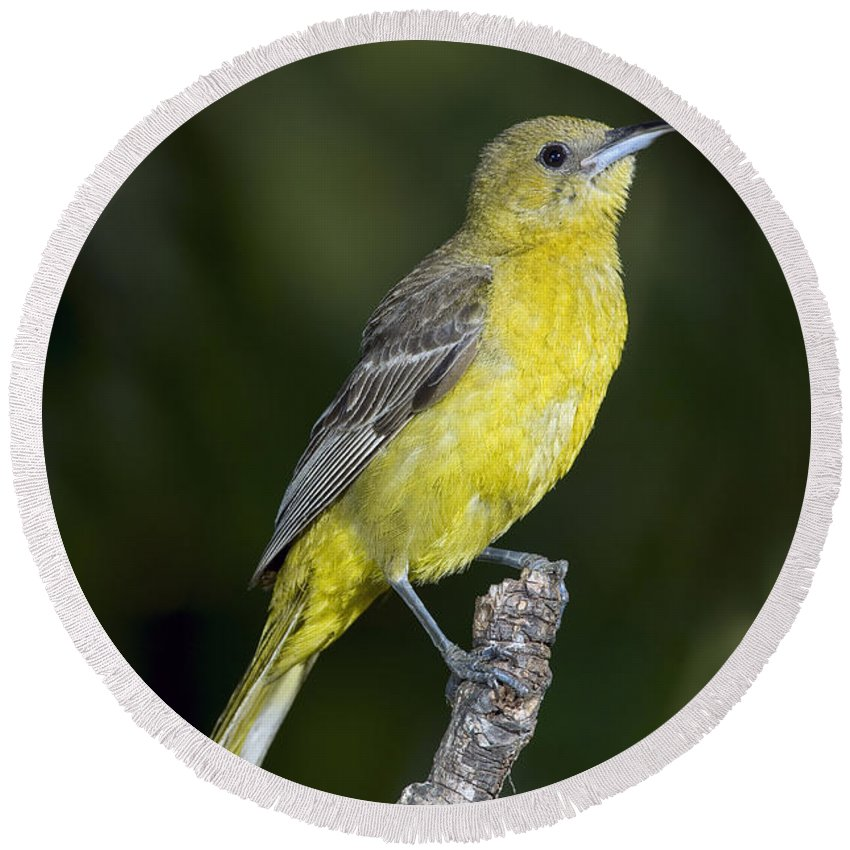 Hooded Oriole Round Beach Towel featuring the photograph Hooded Oriole Female by Anthony Mercieca
