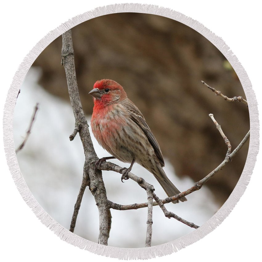 House Finch Round Beach Towel featuring the photograph House Finch by Lori Tordsen