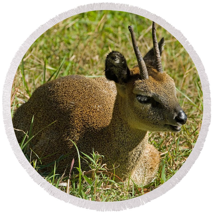 Nature Round Beach Towel featuring the photograph Klipspringer Antelope by Millard H. Sharp