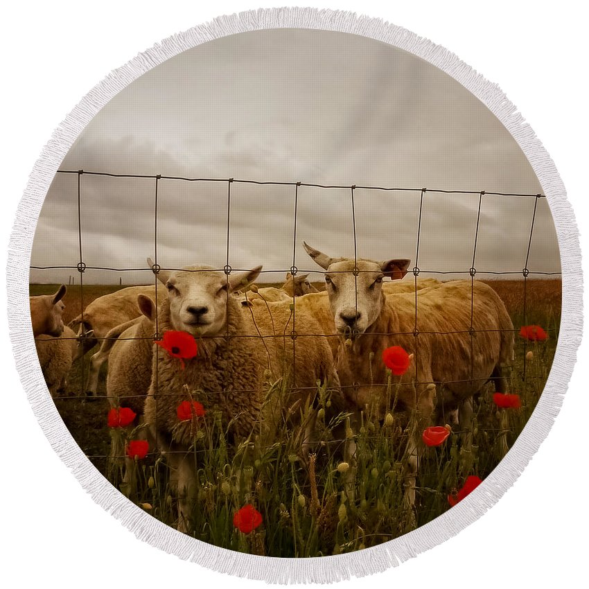 Animal Round Beach Towel featuring the photograph Lambs by TouTouke A Y