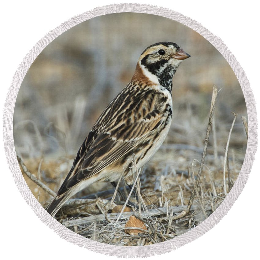 Lapland Longspur Round Beach Towel featuring the photograph Lapland Longspur by Anthony Mercieca