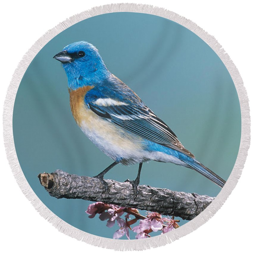 Animal Round Beach Towel featuring the photograph Lazuli Bunting by Anthony Mercieca