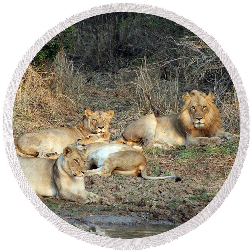 Big 5 Round Beach Towel featuring the photograph Lion Pride by Paul Fell