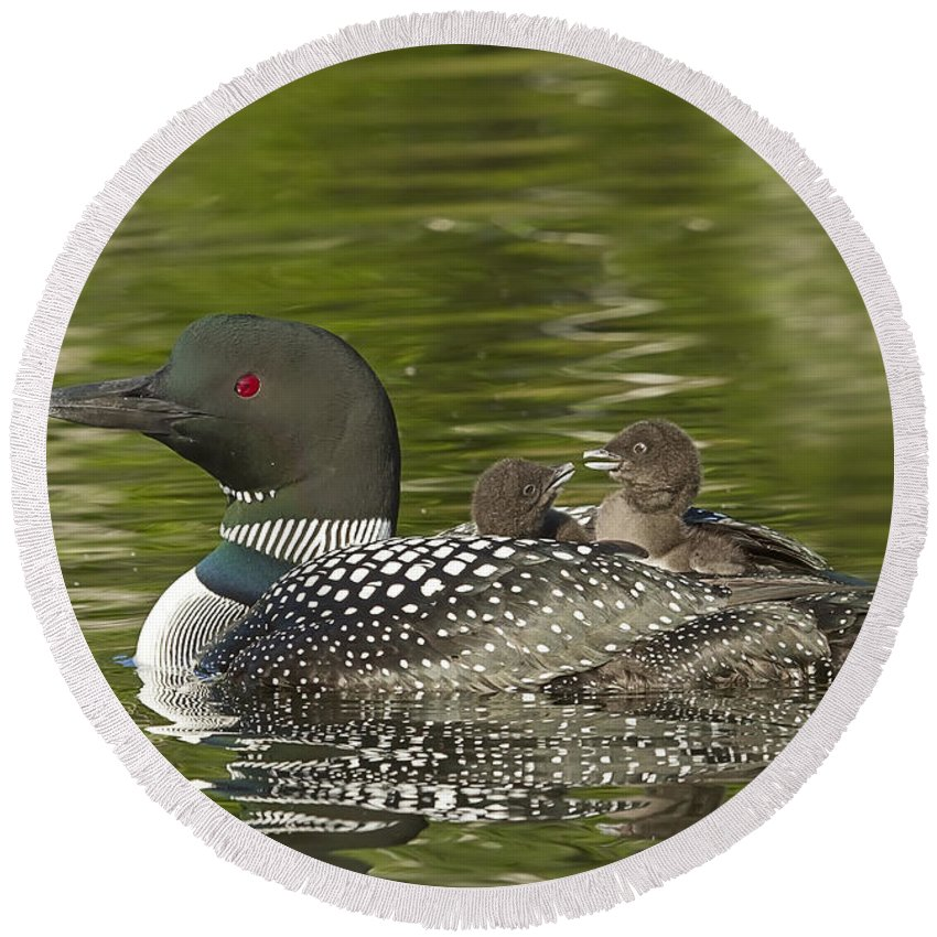 Common Loon Round Beach Towel featuring the photograph Loon Parent With Two Chicks by John Vose