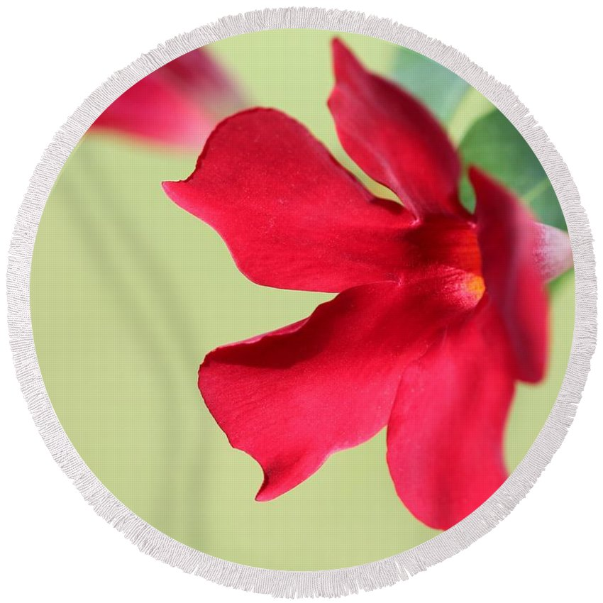 Mccombie Round Beach Towel featuring the photograph Mandevilla Named Sun Parasol Crimson by J McCombie