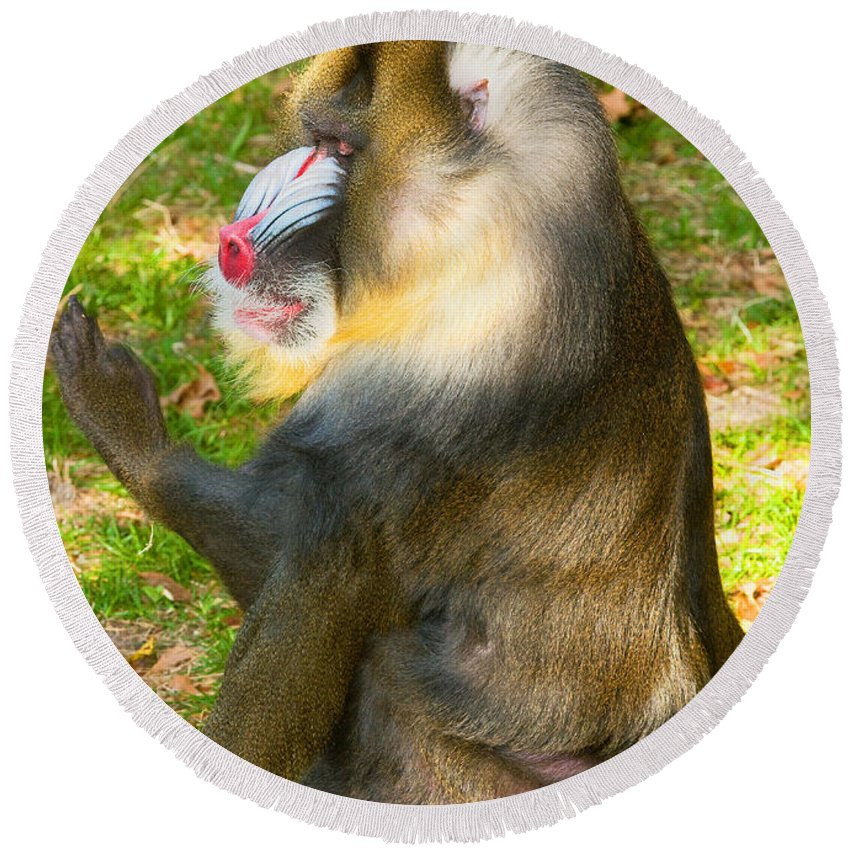 Nature Round Beach Towel featuring the photograph Mandrill by Millard H. Sharp