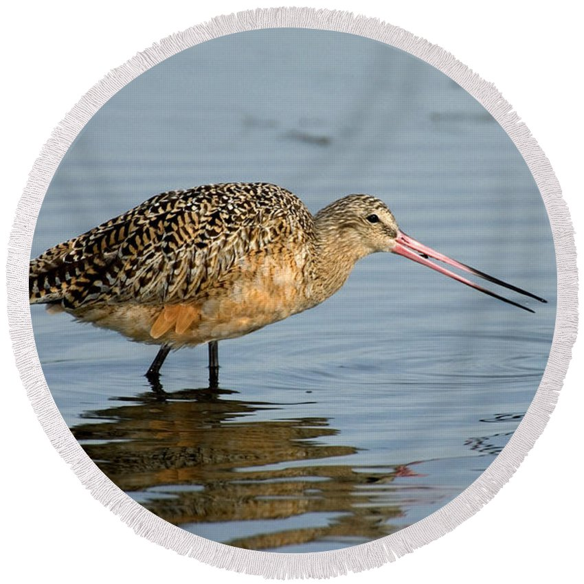 Animal Round Beach Towel featuring the photograph Marbled Godwit Feeding by Anthony Mercieca