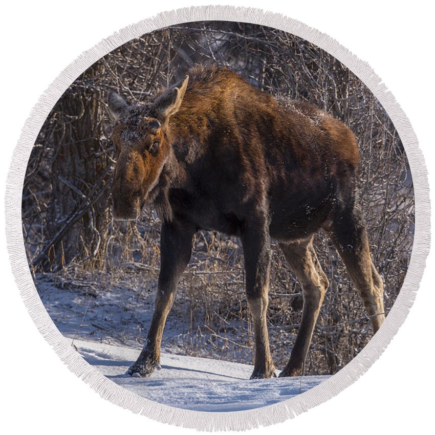 Moose Round Beach Towel featuring the photograph Morning Stroll by Jeff Shumaker