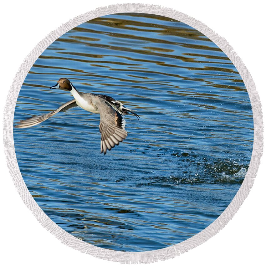 Nature Round Beach Towel featuring the photograph Northern Pintail Drake Taking by Anthony Mercieca