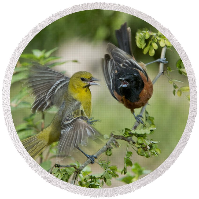 Orchard Oriole Round Beach Towel featuring the photograph Orchard Orioles by Anthony Mercieca