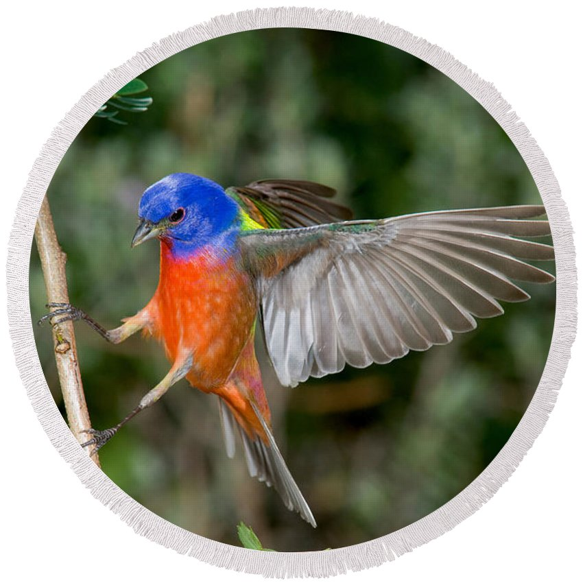 Fauna Round Beach Towel featuring the photograph Painted Bunting by Anthony Mercieca