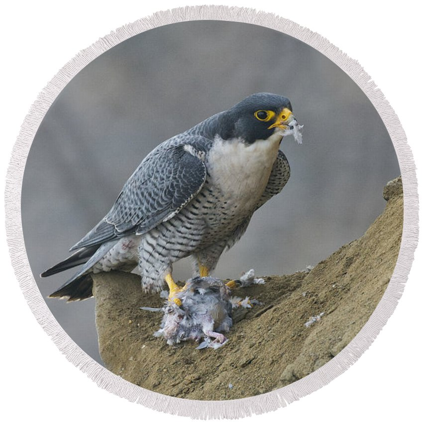 Peregrine Falcon Round Beach Towel featuring the photograph Peregrine Eating Pigeon by Anthony Mercieca